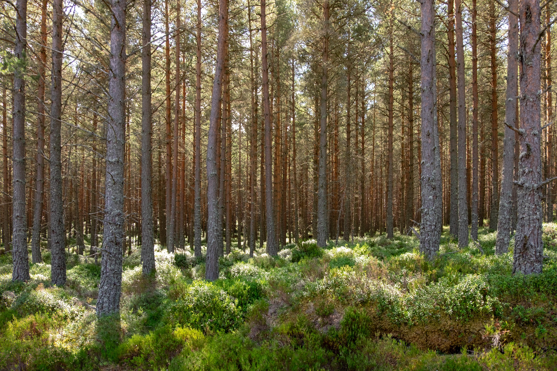 Pine forest Morlich